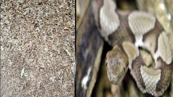 சவால்: முடிந்தால் 15 வினாடியில் இங்கே ஒளிந்துள்ள பாம்பை கண்டுபிடியுங்கள்! வைரலாகும் படம்!